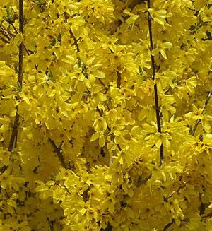春の花レンギョウ(連翹)は色鮮やかです!花言葉や種類は?