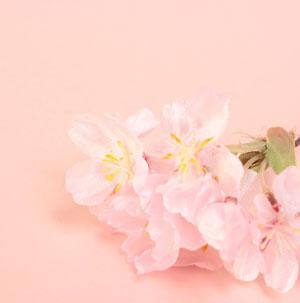 海津大崎の桜情報~駐車場は?開花情報など見頃を紹介