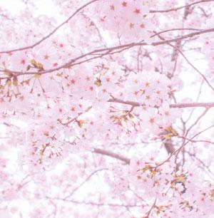 円山公園(京都府)の桜2014~駐車場は?ライトアップの時間は?
