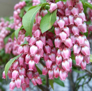 蝋梅(ロウバイ)|花言葉や種類、全国の名所などを紹介